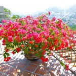 Bougainvilleas of Puerto Vallarta (Hacienda San Angel) ©The Mexico Report